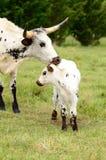 longhorn łydkowa mama Zdjęcia Stock