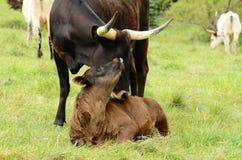 longhorn łydkowa mama Fotografia Stock