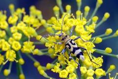 Longhorn yellow beetle on yellow flowers. Longhorn yellow beetle on yellow flowers close-up Royalty Free Stock Image