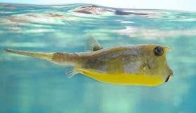 Longhorncowfish Stockbild