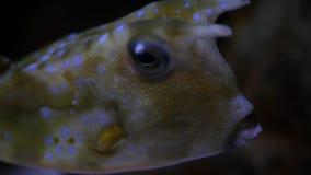 LonghornCowfish nära en korallrev - nära övre vinkel lager videofilmer