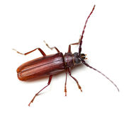 Longhorned Beetle Stock Image