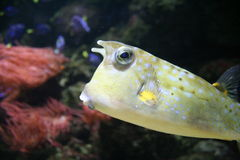 Longhorned Cowfish. A yellow Longhorned Cowfish in aquarium Stock Images