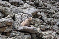 Longhorngeit royalty-vrije stock fotografie