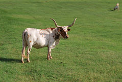 longhorns Οκλαχόμα Στοκ εικόνες με δικαίωμα ελεύθερης χρήσης
