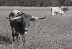 Longhorns Foto de Stock Royalty Free
