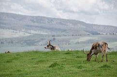 Longhorns altos acima do pássaro branco Fotos de Stock Royalty Free