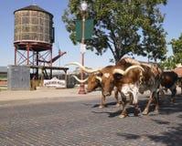 Longhorns, die hinunter Straße gehen Stockbild