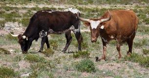 Longhorns du Texas Photos stock