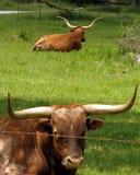 Longhorns du Texas Photographie stock libre de droits