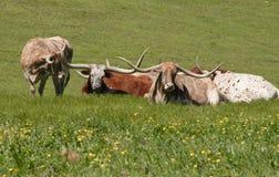 Longhorns op gebied 1 Stock Afbeelding