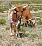 longhorns texas Arkivbild
