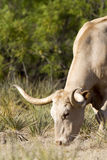 longhornsteer Arkivbilder