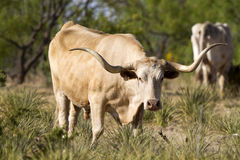 longhornsteer Arkivfoton