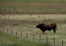 Longhornu byk Zdjęcia Royalty Free