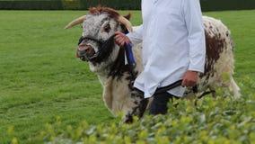 Longhornu byka zwierzę Fotografia Royalty Free