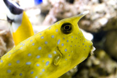Longhornu cowfish Obrazy Stock