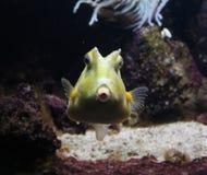 Longhornu cowfish, Lactoria cornuta Fotografia Stock