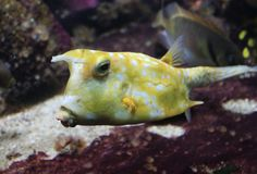 Longhornu cowfish, Lactoria cornuta Zdjęcia Stock