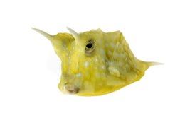 Longhornu cowfish, Lactoria cornuta Zdjęcie Stock