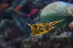 Longhornu cowfish, Lactoria cornuta Obrazy Royalty Free