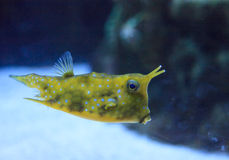Longhornu cowfish, Lactoria cornuta Fotografia Royalty Free