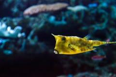 Longhornu cowfish, Lactoria cornuta Obraz Stock