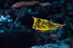 Longhornu cowfish, Lactoria cornuta Zdjęcie Royalty Free