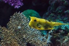 Longhornu cowfish, Lactoria cornuta Obraz Royalty Free