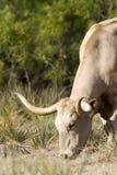 longhornu zmyłka Obrazy Stock