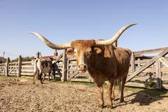 Longhornu zmyłka w Teksas Fotografia Royalty Free