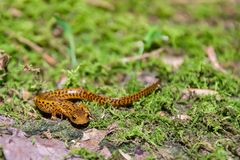 Longicauda a coda lunga di Eurycea della salamandra Fotografia Stock Libera da Diritti