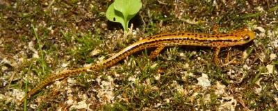 longicauda Long-coupé la queue d'Eurycea de salamandre Images libres de droits