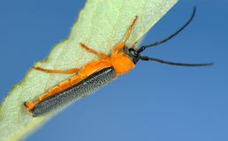 Longicorn beetle Stock Photography