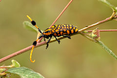 Longicorn beetle Royalty Free Stock Image