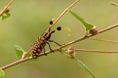 longicorn beetle Stock Image