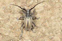 Longicorn beetle Stock Images