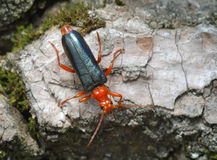 Longicorn beetle on the bark of a tree Stock Photography