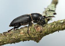 Longicorn beetle on a branch. Stock Image