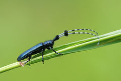 Longicorn beetle. The close-up of a longicorn beetle on grass. Scientific name: Agapanthia amurensis Stock Images
