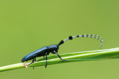 Longicorn beetle. The close-up of a longicorn beetle stands on grass stem. Scientific name: Agapanthia amurensis Royalty Free Stock Photography