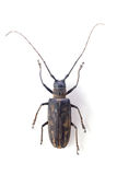 The longicorn beetle  isolated Royalty Free Stock Photos
