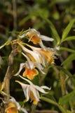 Longicornu de Dendrobium, espèces d'orchidée Village de Durgapur Images stock