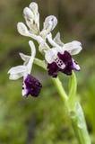 Longicornu van Orchis Stock Foto's