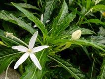 Longiflora L di Hippobroma G Piante di Don Immagine Stock