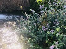 Longifolia de Mentha photographie stock libre de droits