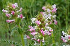 Longifolia de Morina, um wildflower Fotos de Stock