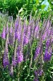 Longifolia de Veronica dans le jardin photos stock