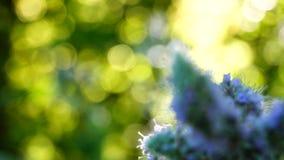 Longifolia Mentha сток-видео