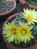 Longimama do Mammillaria imagem de stock royalty free